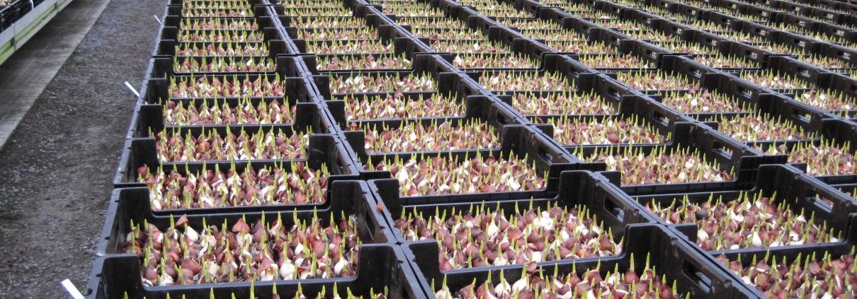 kukkasipulit laatikoissa vesiviljely järjestelmä