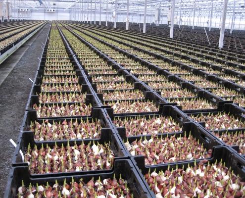 Bloembollen in kratten voor hydroponics systeem