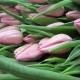 Vaaleanpunainen Tulip